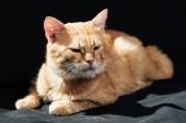 Photo cute domestic ginger cat dozing on black blanket