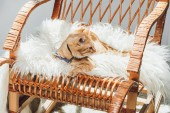Fotografie cute domestic tabby cat lying on rocking chair in living room