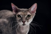 Fotografie domestic grey sphynx cat looking at camera isolated on black