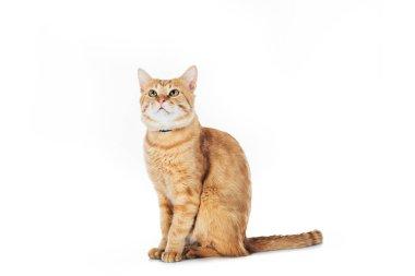 çok güzel aile içi kırmızı kedi üzerinde izole beyaz seyir