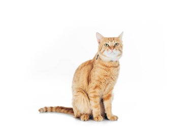 cute domestic tabby cat looking up isolated on white