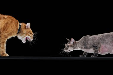 angry ginger cat hissing at sphynx cat isolated on black