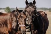 Nahaufnahme Porträt schöner schwarzer Pferde, die auf einem Feld in der Landschaft grasen