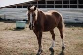 Fényképek gyönyörű barna ló vidéken réten legelésző
