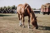 Fotografie krásné hnědé koně pasoucí se na louce na farmě