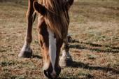 Fotografie zblízka pohled krásné hnědé koně pasoucí se na louce v krajině
