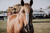 Fotografie portrét krásné hnědé koně pasoucí se na louce v krajině