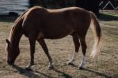 krásné hnědé koně pasoucí se na louce na farmě