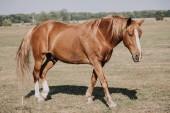 Fotografie hnědé krásné koně pasoucí se na louce v krajině