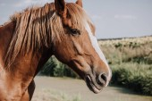 selective focus of beautiful brown horse grazing on meadow in countryside