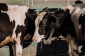 interne belle mucche in piedi in stallo presso azienda agricola