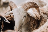 Nahaufnahme der Schafbeweidung mit Herde in Koppel auf der farm