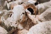 portrét ovcí pasoucí se stádo do ohrady na farmě