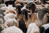 Fotografie zblízka pohled stáda hnědé ovce na pastvě v ohradě na farmě