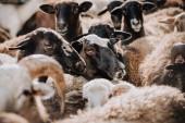 Fotografie Selektivní fokus stáda hnědé ovce na pastvě v ohradě na farmě
