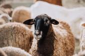 portrét hnědé ovce pasoucí se stádo do ohrady na farmě