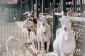 Selektivní fokus koz, stojící v blízkosti kovového plotu v ohradě na farmě
