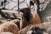 hnědá ovce pasoucí se stádo do ohrady na farmě