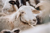 selective focus of sheep grazing with herd in corral at farm