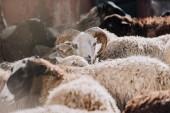 Selektivní fokus ovcí pasoucí se stádo do ohrady na farmě