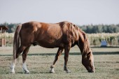 selective focus of beautiful brown horse grazing on meadow at farm