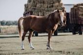 gyönyörű barna ló legeltetés réten a feltöltött szénát mögött a farm