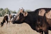 zblízka pohled černé krávy pasoucí se na louce v krajině
