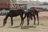 Fotografie venkovské scény s krásnou černí koně pasoucí se na hřišti na farmě