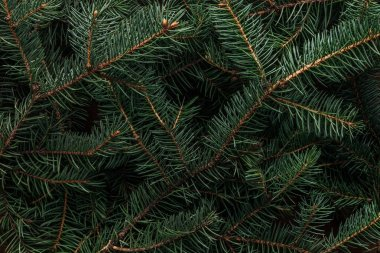 full frame of green pine tree branches as background