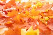 Fotografie Selektivní fokus javor oranžové a žluté listy, podzimní pozadí