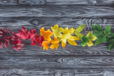 elevated view of row of autumnal maple leaves on wooden grey surface