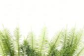 Fotografia vista elevata di rami disposti felce verde isolato su bianco