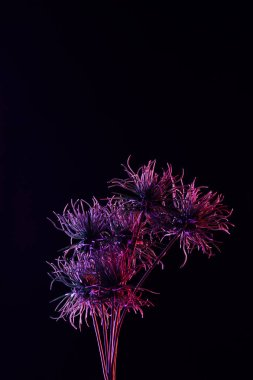 toned picture of beautiful plant with purple lighting isolated on black