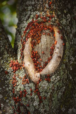 Close up view of colony of firebugs on old tree trunk stock vector