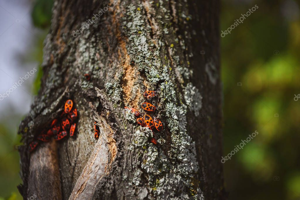 Selective focus of colony of firebugs on old tree trunk stock vector