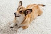 legrační pembroke welsh corgi pes ležící na nadýchané koberec