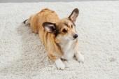 Fotografia carina pembroke welsh corgi cane sdraiato sul tappeto soffice e distogliere lo sguardo