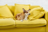 cute pembroke welsh corgi dog sitting on yellow sofa