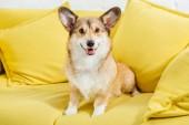 roztomilý welsh corgi pes sedí na žluté pohovce a při pohledu na fotoaparát