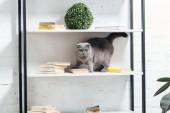 aranyos kiscicák macska állva a fehér polcok egység
