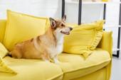 niedliche Pembroke Welsh Corgi Hund auf gelben Sofa sitzen
