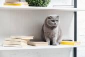 Fotografie entzückende Scottish fold Katze auf Regal auf weiß