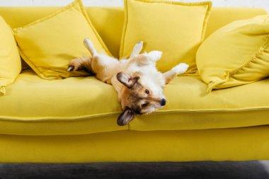 adorable pembroke welsh corgi dog lying on yellow sofa