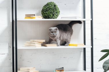 adorable scottish fold cat standing on shelving unit on white