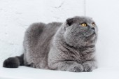 Fényképek vicces kiscicák macska feküdt fehér háttér