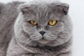 Nahaufnahme eines entzückenden scottish Fold Katze auf weiß