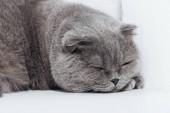 Detailní záběr na spaní skotské klapouché kočky na bílém pozadí