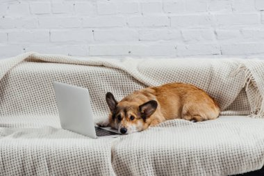 bored welsh corgi dog on sofa with laptop