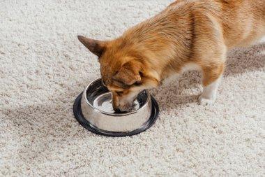 funny pembroke welsh corgi dog drinking water out of metal pet bowl
