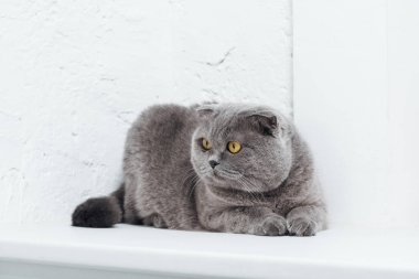 Funny scottish fold cat on white background stock vector